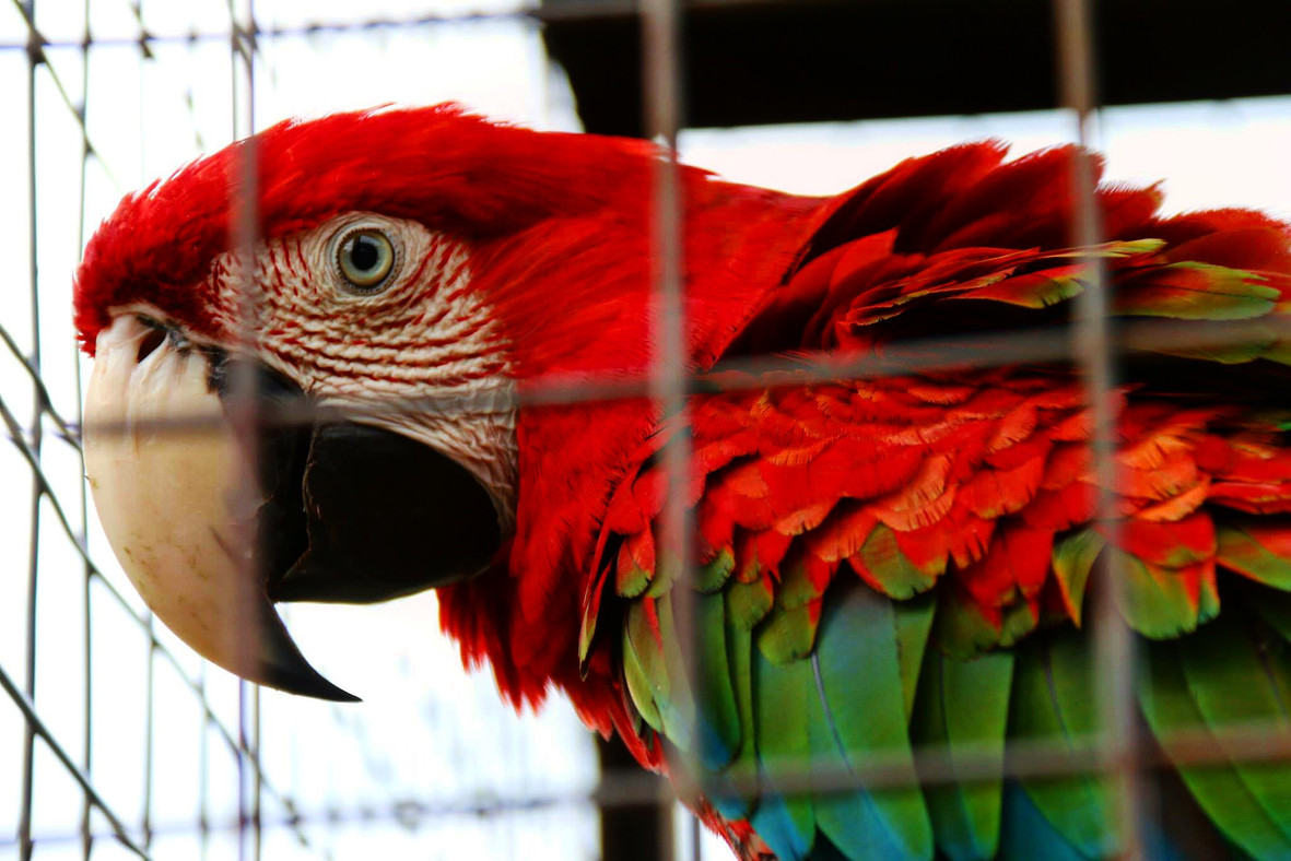 This beautiful green-winged macaw, taken from her rainforest home, was in a tiny cage by the side of the road near Georgetown, Guyana. These birds mate for life. It's sad to think how long her partner and her might have been together, and how they'll never see each other again.