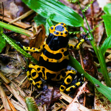 A yellow-banded poison dart frog on route back to her burrow. The famous toxicity this group of frogs possess comes from eating certain arthropods and is secreted from their skin.