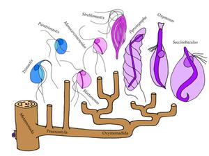 Evolution and diversity of Preaxostyla. LVF Novák.