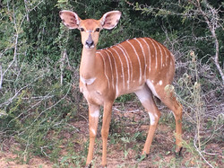 Deer on safari