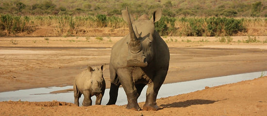 Rhino Pongola reserve