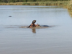 Hippo on safari