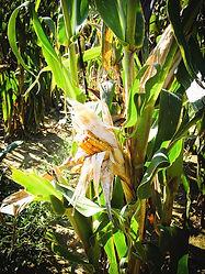 harvest-corn-stalk-lenora-rod.jpg