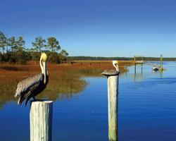 Pelicans by Ed Funk