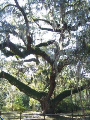 Secession Oak