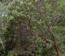 Arctostaphylos_columbiana_plant.jpg