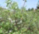 Salix_hookeriana_plant.jpg