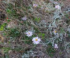 Corethrogyne_filaginifolia_habitat.jpg