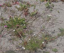 Spergula_arvensis_habitat.jpg