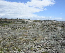 Artemisia_pycnocephala_habitat.jpg