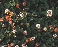 Trifolium_repens_habitat.jpg