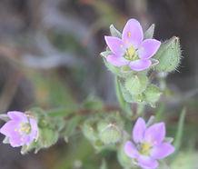 Spergularia_macrotheca_flower.jpg