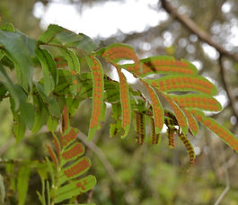 Polypodium_scouleri_plant.jpg