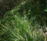 Carex_obnupta_plant.jpg