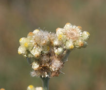 Psuedognaphalium_stramineum_flower.jpg