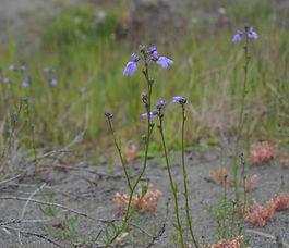 Nuttallanthus_canadensis_plant.jpg