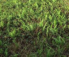Polypodium_calirhiza_habitat.jpg