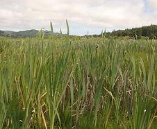 Typha_latifolia_habitat.jpg