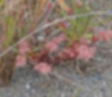 Polycarpon_tetraphyllum_plant.jpg
