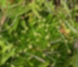 Spergularia_canadensis_plant.jpg