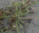 Bromus_maritimus_plant.jpg