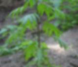 Solanum_aviculare_plant.jpg