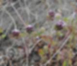 Trifolium_macraei_plant.jpg