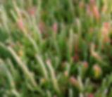 Salicornia_pacifica_plant.jpg