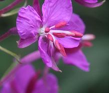 Chamerion_angustifolium_flower.jpg