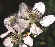 Rubus_armeniacus_flower.jpg