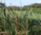 Typha_latifolia_plant.jpg