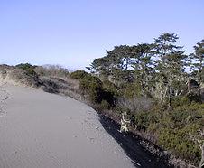 Hesperocyparis_macrocarpa_habitat.jpg