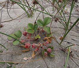 Fragaria_chiloensis_plant.jpg