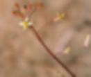 Coincya_monensis_flower.BMP