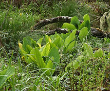 Lysichiton_americanus_habitat.jpg