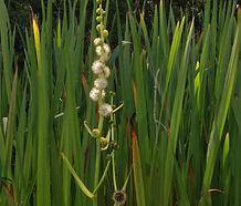 Sparganium_eurycarpum_flower.jpg