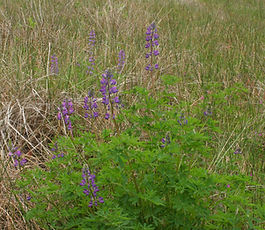 Lupinus_rivularis_plant.jpg