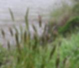 Anthoxanthum_odoratum_plant.jpg