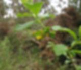 Lonicera_involucrata_plant.jpg