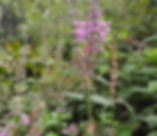 Stachys_chamissonis_plant.jpg