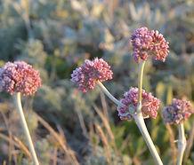 Eriogonum_latifolium_flower.JPG