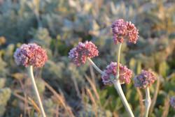 Eriogonum_latifolium_flower