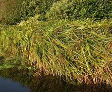 Scirpus_microcarpus_habitat.jpg