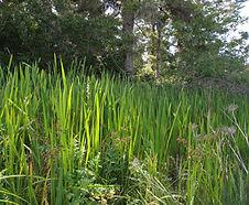 Sparganium_eurycarpum_habitat.jpg