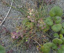 Lepidium_nitidum_habitat.jpg
