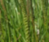 Triglochin_maritima_plant.jpg