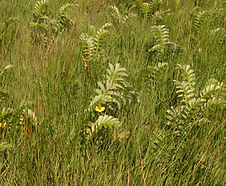 Eleocharis_macrostachya_habitat.jpg