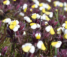 Triphysaria_eriantha_plant.jpg