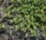 Cardionema_ramosissimum_plant.jpg