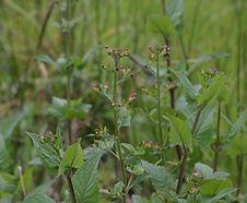 Scrophularia_californica_habitat.jpg